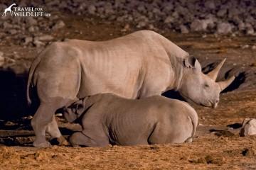 Black rhino nursing her calf