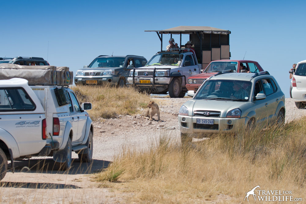 lion traffic jam in Etosha Namibia