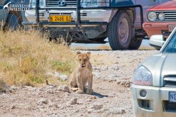 Proper Safari Etiquette means don't block animals with your car