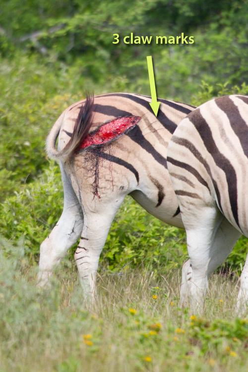 Claw marks on a zebra  butt