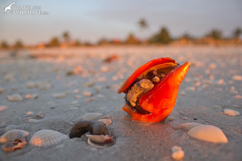 live Florida Fighting Conch on the beach on Sanibel Island, Florida