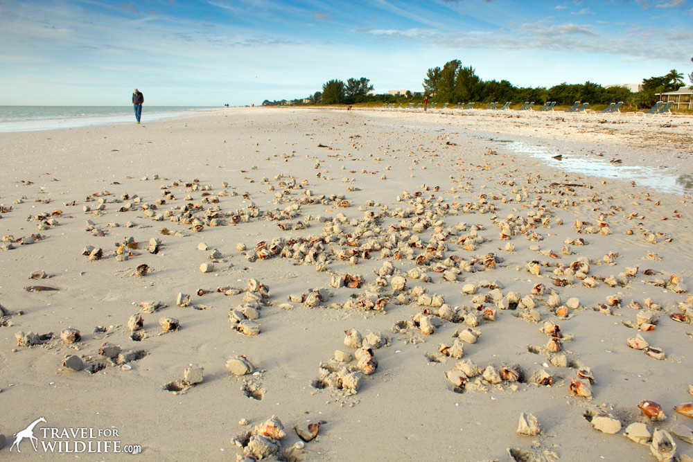 thousands of Florida Fighting Conchs stranded from storms on Sanibel, Florida