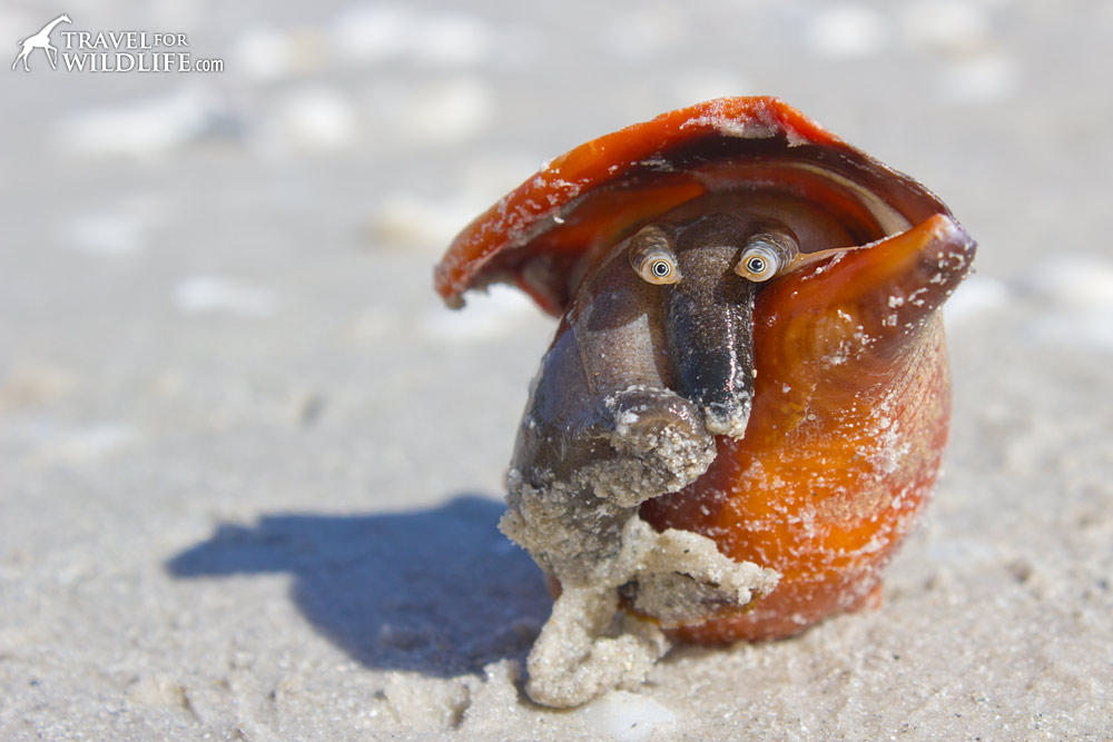 the face and eyes of a Florida Fighting Conch, a marine snail in its shell on the beaches of Sanibel Florida