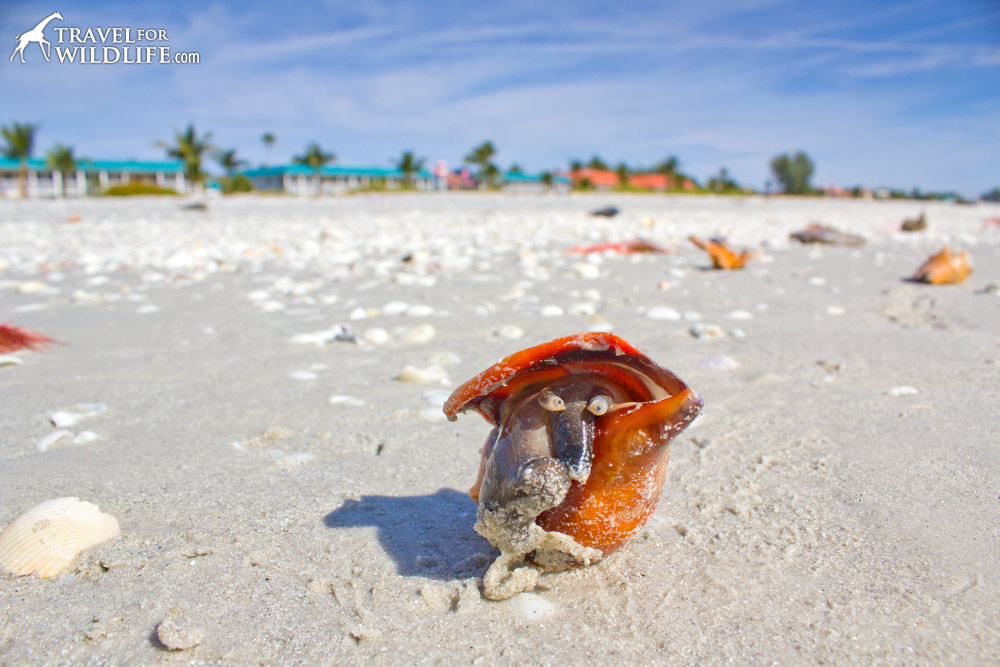 a sea shell with eyes, the face of a florida fighting conch in Sanibel Florida