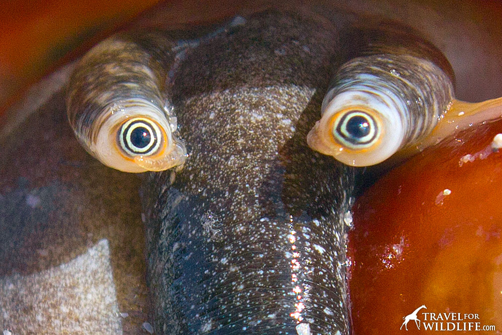 close up photo of the eyes of a florida fighting conch