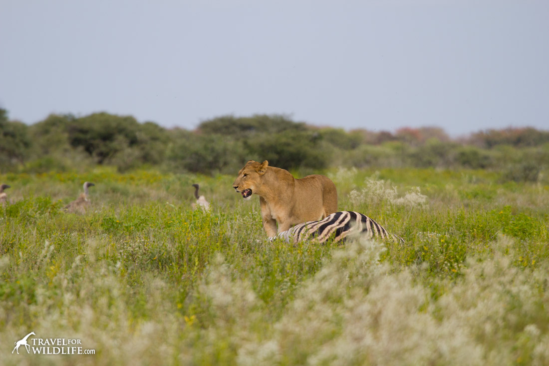 A liones standing by her zebra kill
