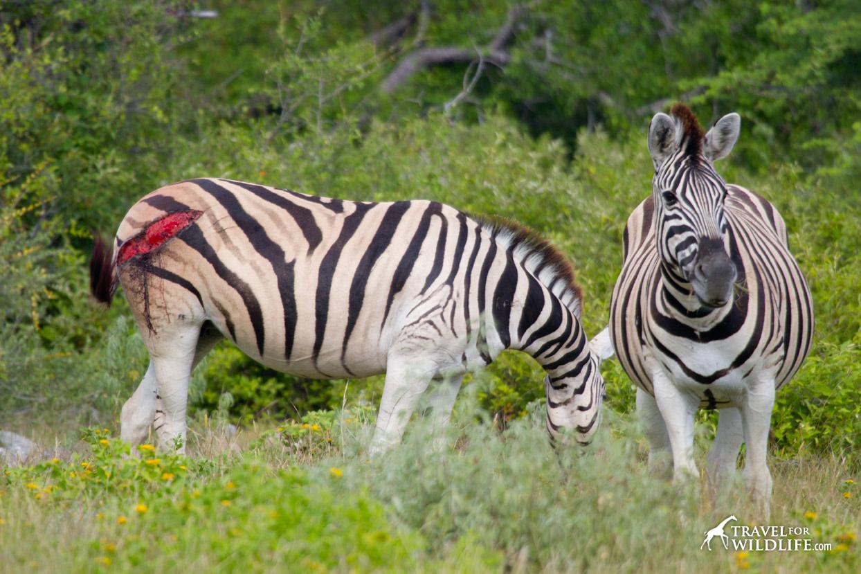 Two zebras in Etosha