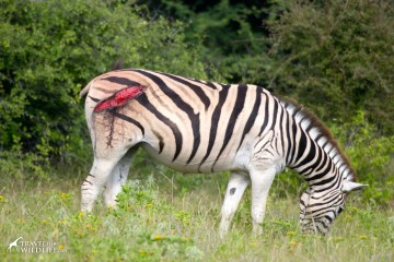 An injured zebra grazing, she has a wound on its backside
