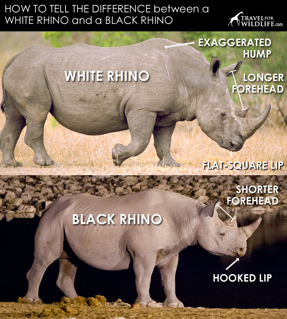 A black rhino and a white rhino photo showing body shape differences