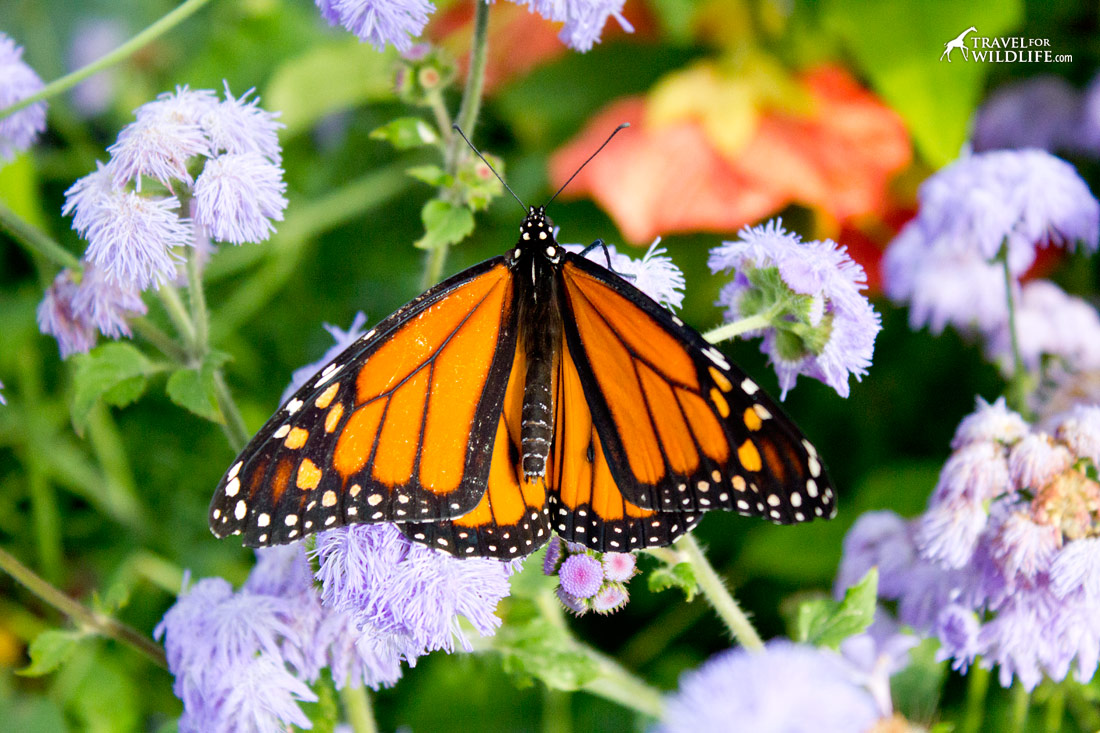Monarch butterfly on nectar plant