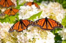 how to create a butterfly garden with milkweed