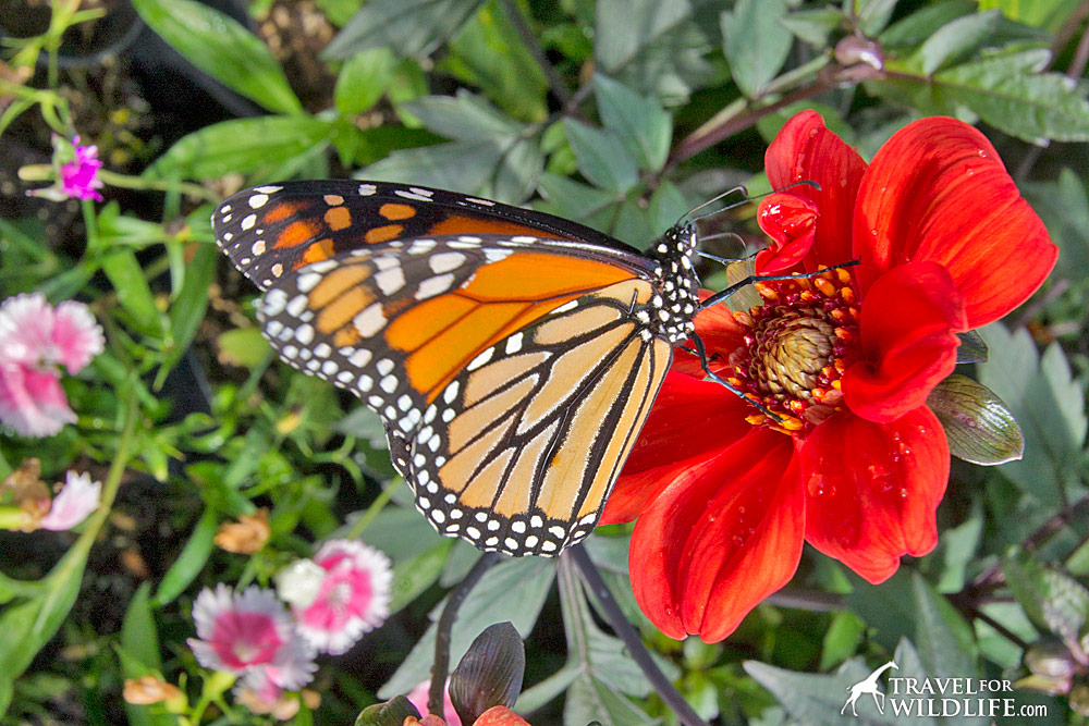 A butterfly feeding on nectar flower