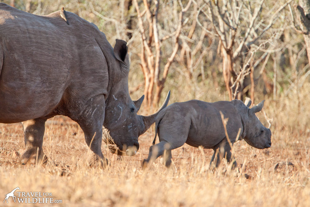 baby white rhino calf walking in front of its mother, south africa