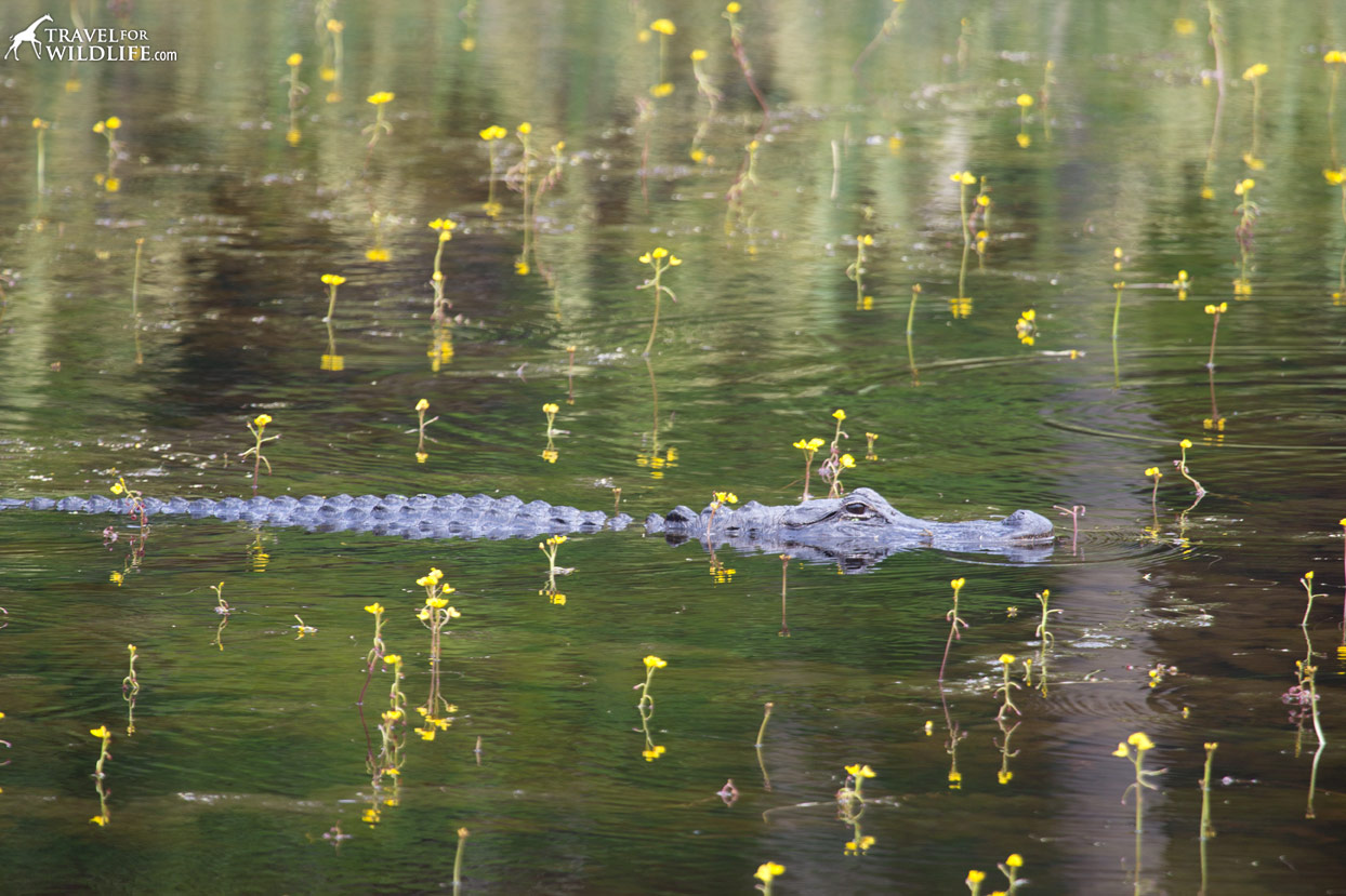 Alligator swimming at a pond