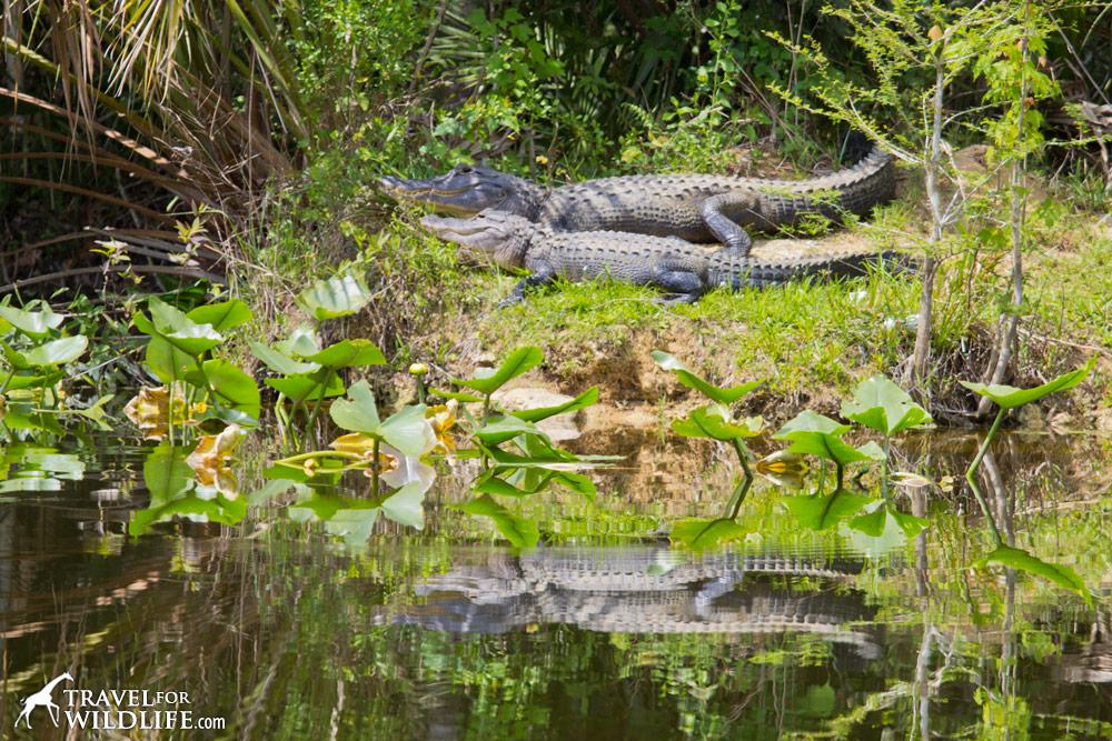American Alligators sunning in the Lower Suwannee National Wildlife Refuge, Florida.