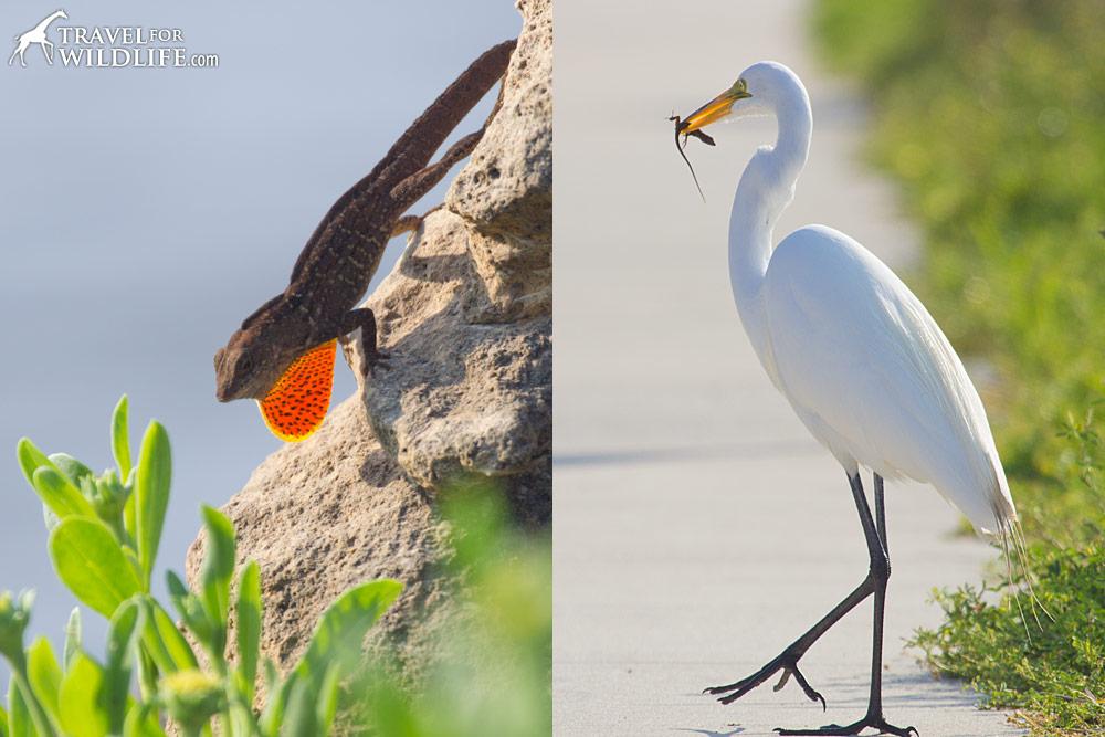 Great Egret hunting brown anole lizards in Cedar Key, Florida