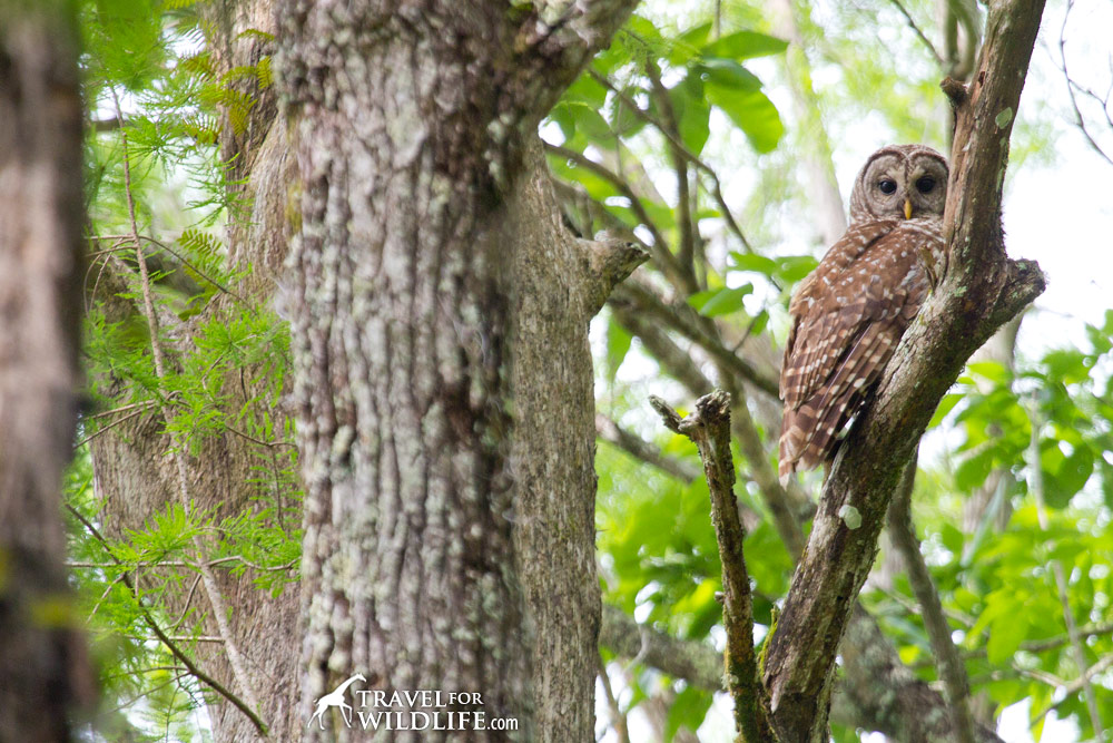 A Barred Owl perching in Cypress Swamp next to the Suwannee River, Florida