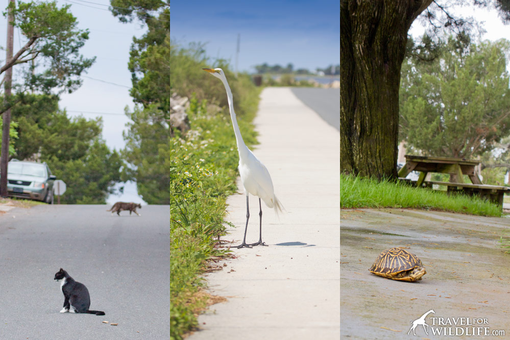 Animals on the road in Cedar Key, Florida including great egret and Florida Box Turtle
