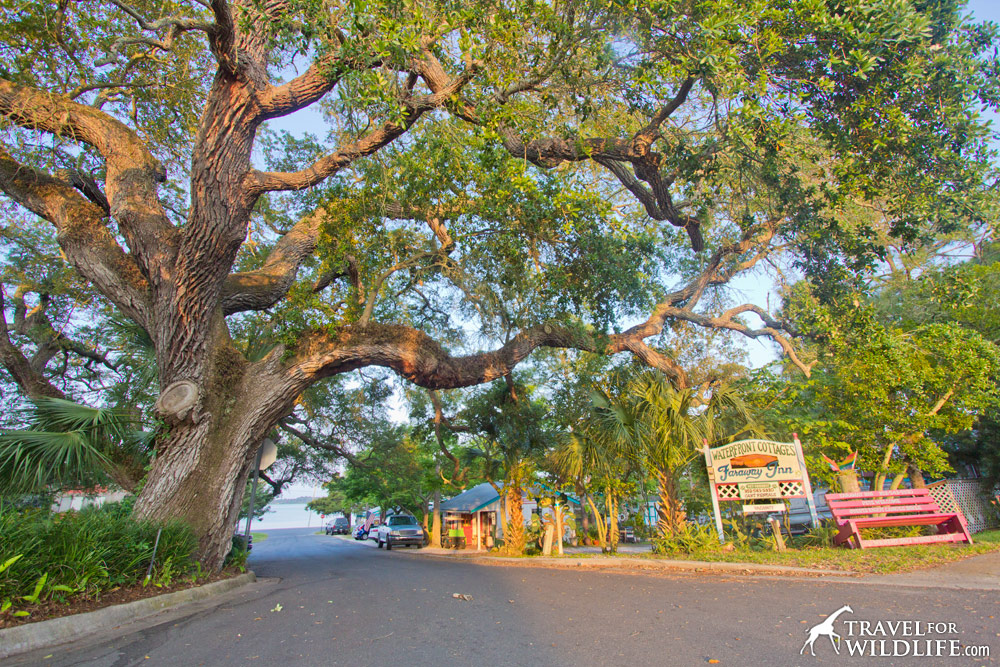 Pass under the branches of this ancient live oak to reach the Faraway Inn in Cedar Key.