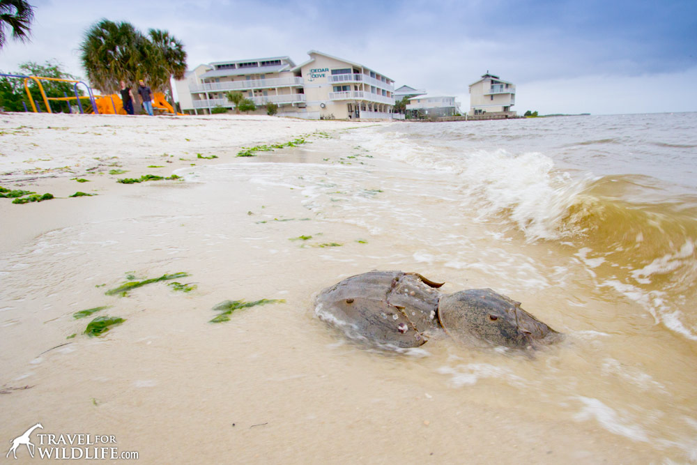 Mating horseshoe crabs in Cedar Key, Florida