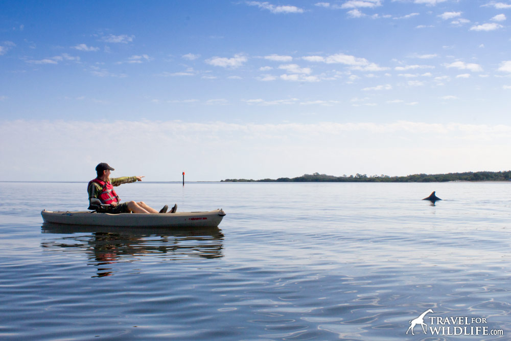a dolphin surfacing next to a kayaker in Cedar Key Florida
