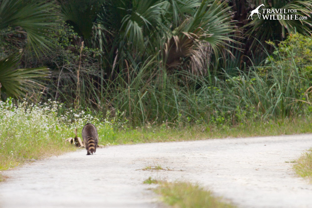 Raccoon crossing road. Lower Suwannee National Wildlife Refuge, Florida