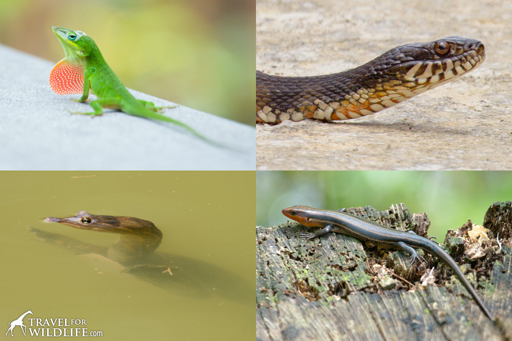 reptiles of the Lower Suwannee National Wildlife Refuge, Florida