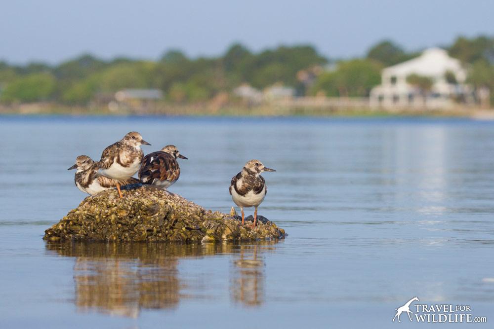 Ruddy Turnstones on Cedar Key, Florida