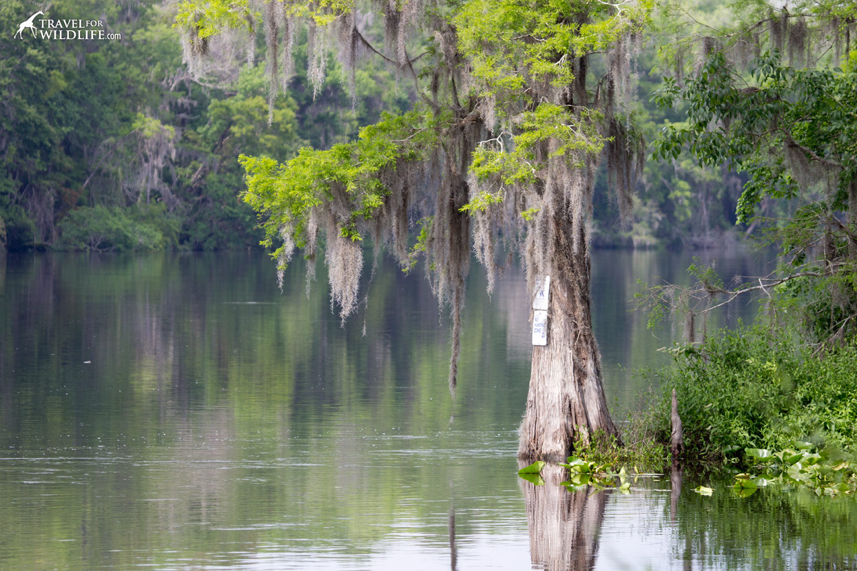 A cypress with Spanish moss