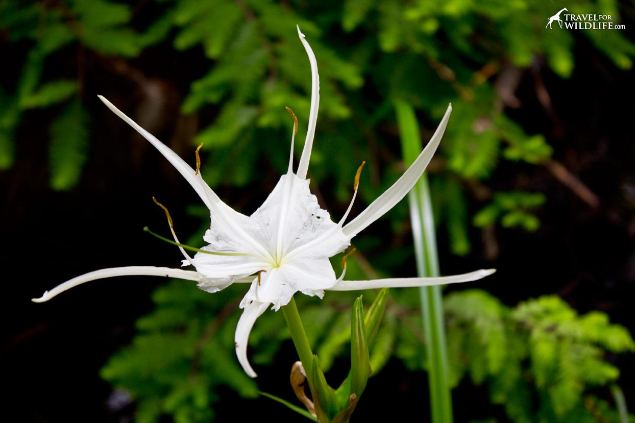 White flower at lower suwannee