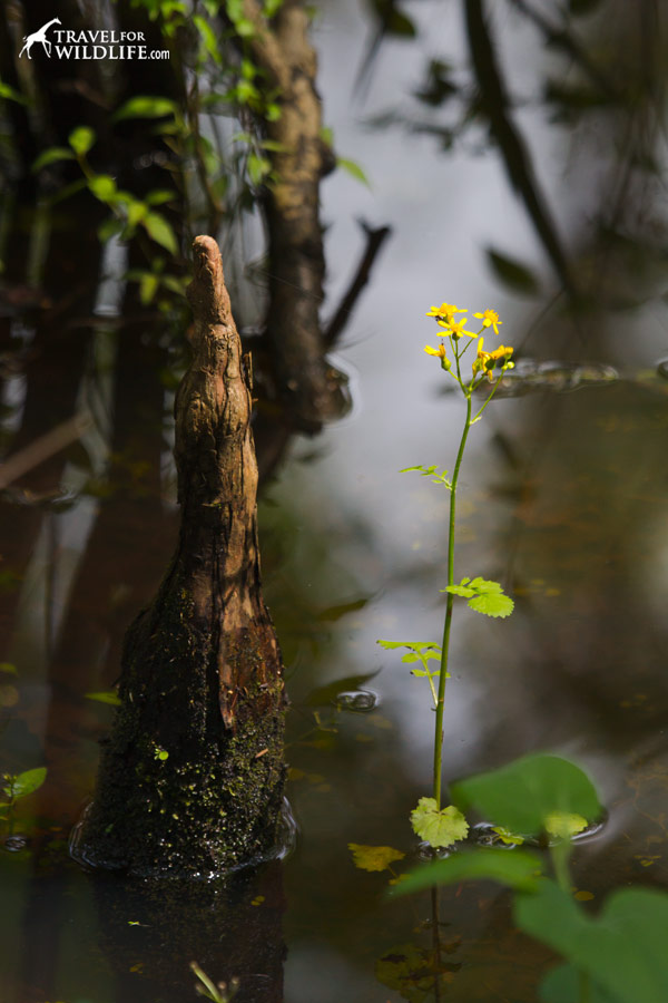 Yellow flower in the swamp