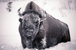 Official Mammal of the USA: the Bison