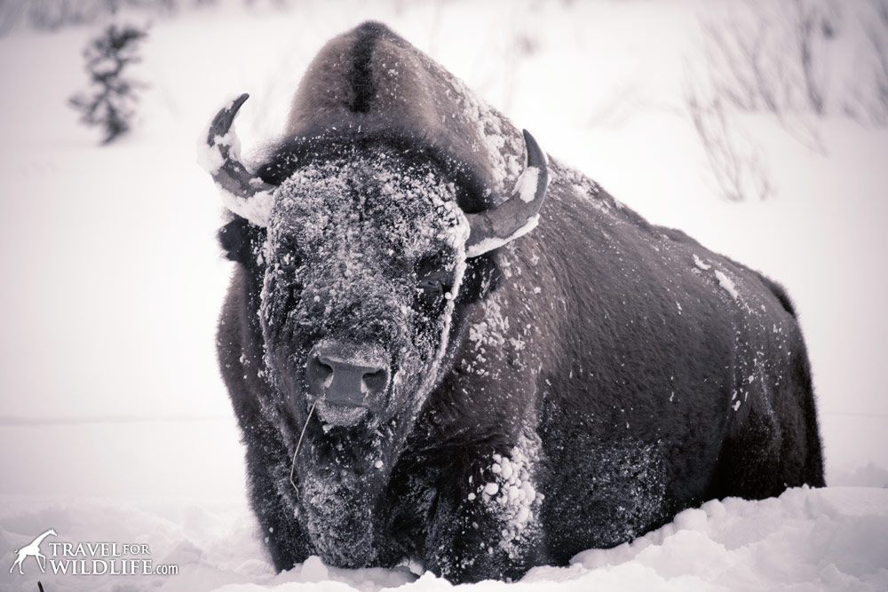 National Mammal of the USA: the Bison