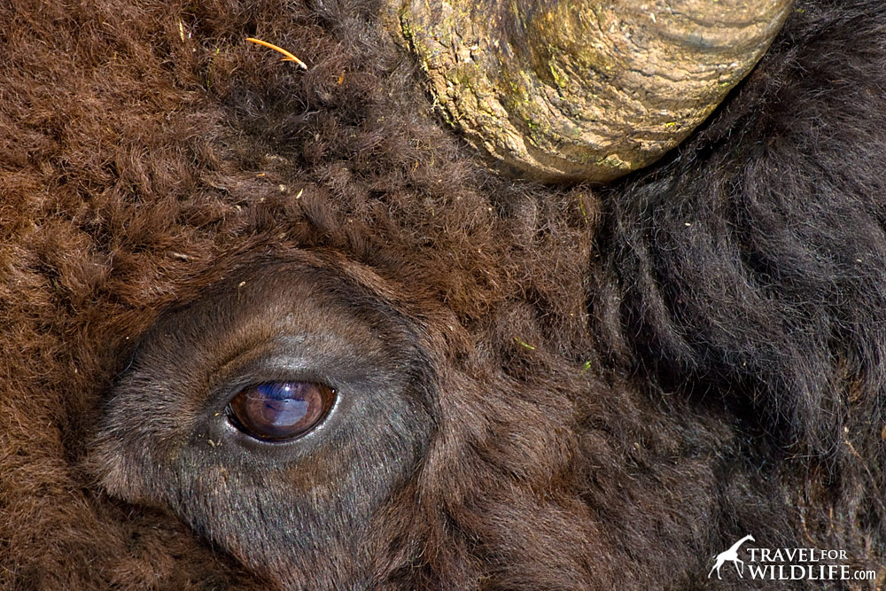 Close up of bison eye