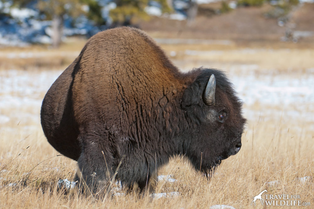 Huge bison in Yellowstone
