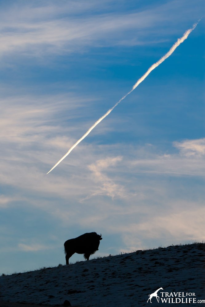 A bison watches a jet trail in Yellowstone