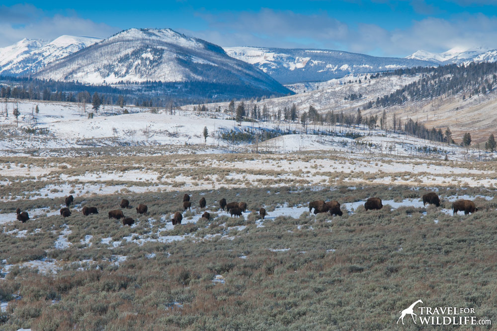 A herd of bison grazing in Yellowstone