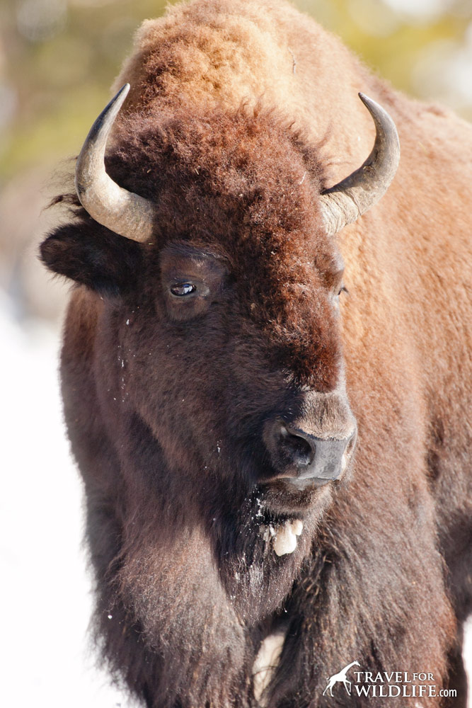 portrait of a female bison in Yellowstone National Park