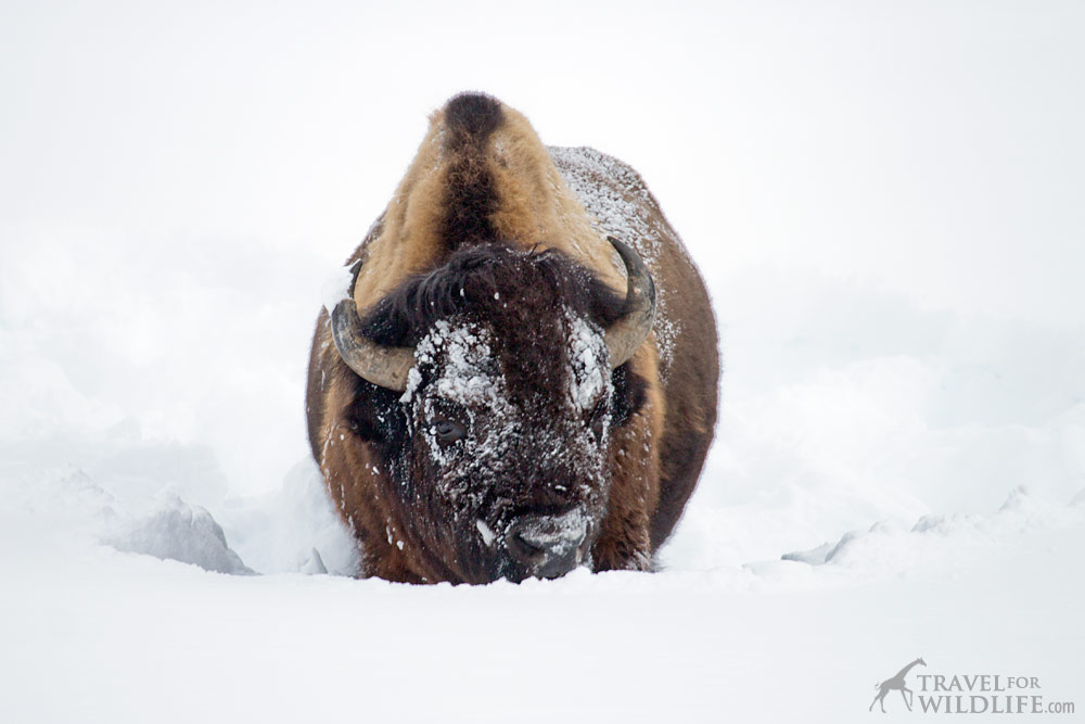 Bison plowing snow in Yellowstone