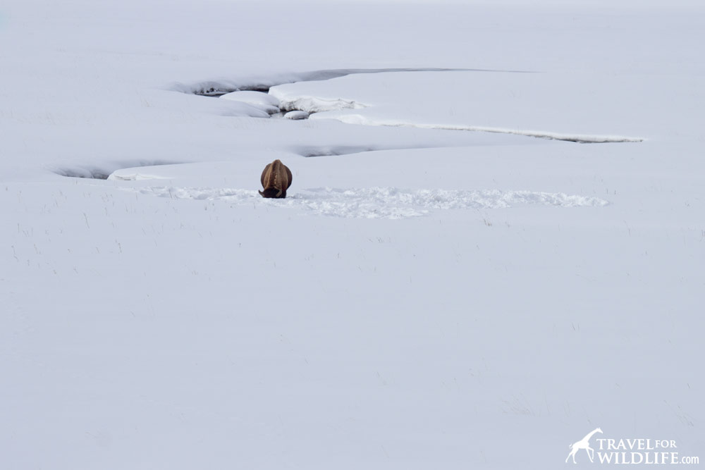 Bison grazing in a snow covered field in Yellowstone