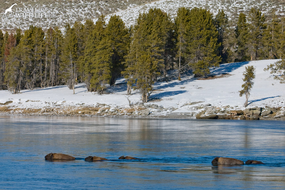 Bison swimming across the Yellowstone River