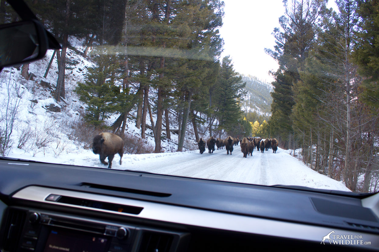 Buffalo traffic jam in Yellowstone
