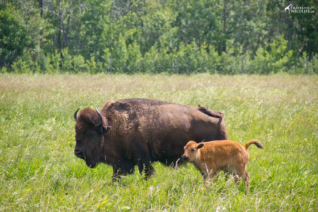 Bison calf with his mother