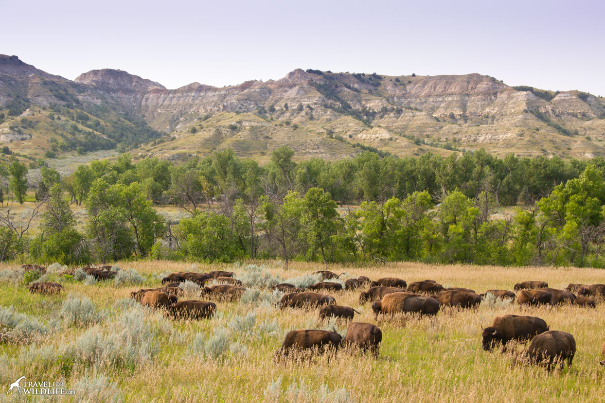 bison roaming the plains in Theodore Roosevelt National Park