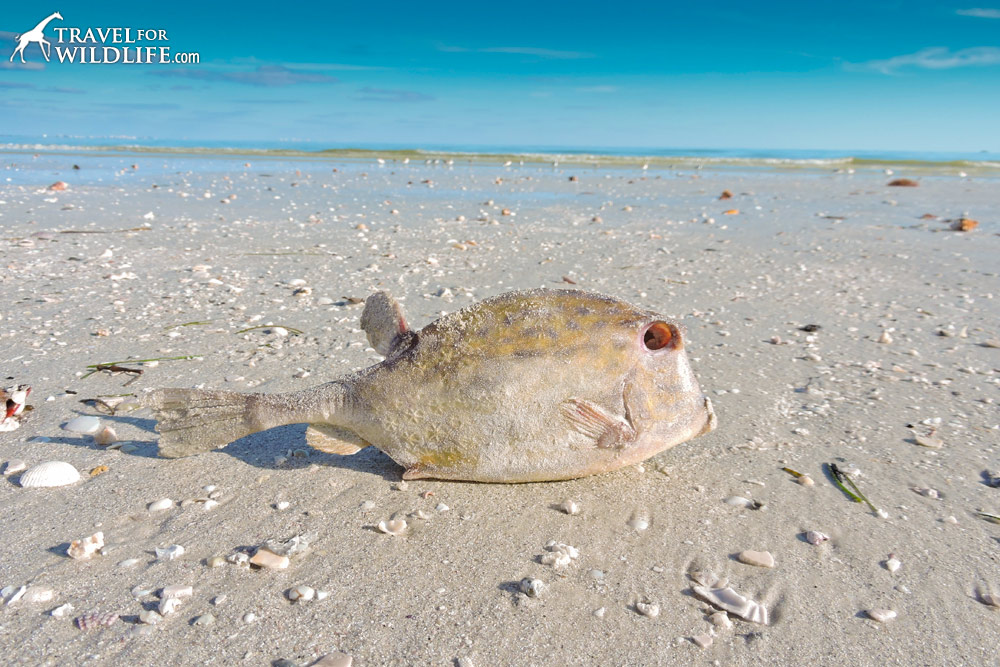 Dead box fish killed by red tide on Sanibel Island, Florida
