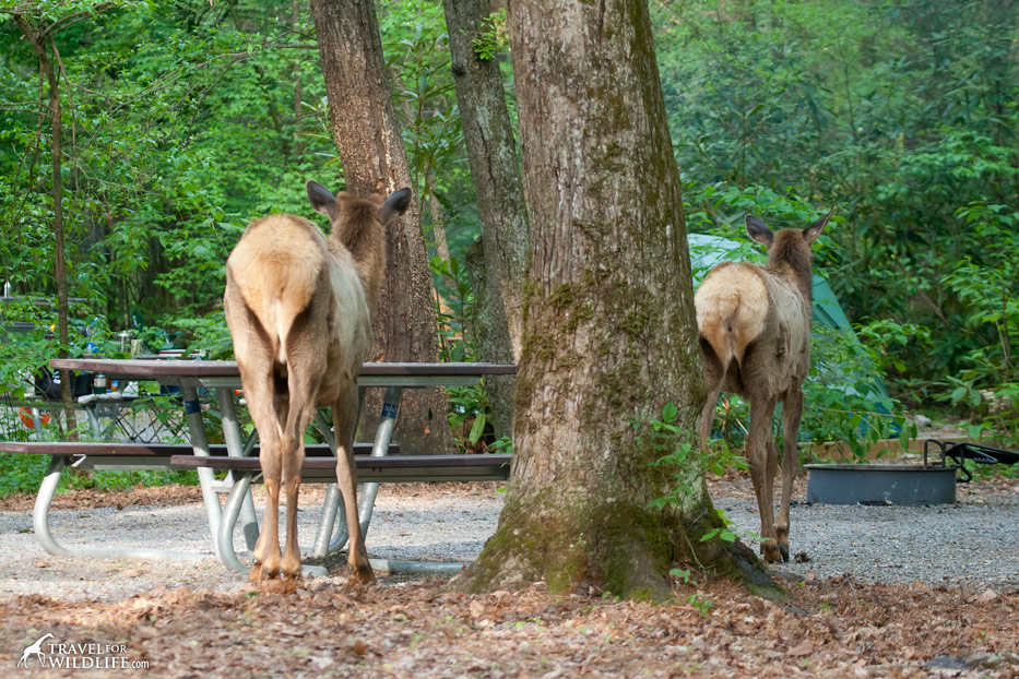 Elk wander around your tent site while camping in the Smokies