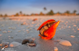 A living Florida Fighting Conch watching the sunrise on Sanibel Island Florida