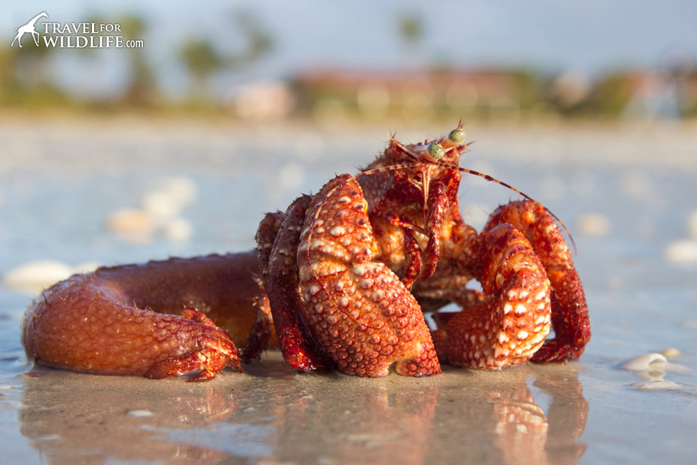 giant red hermit crab that died outside of its shell . Washed up on beach in Sanibel, Florida