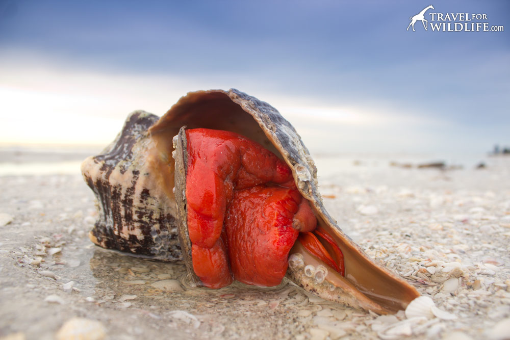 A live horse conch on the beach on Sanibel Island, Florida