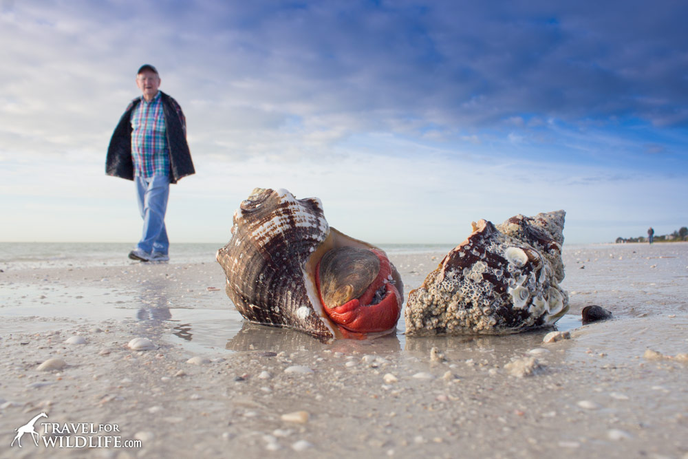 live Horse Conchs on Sanibel Island, Florida